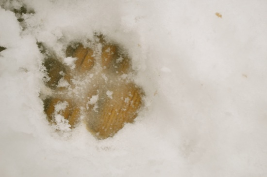 Puppy prints in the fresh snow!
